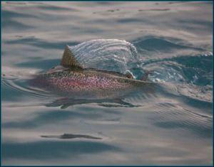 Trout Shark