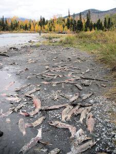 Fall on the Kenai River Alaska